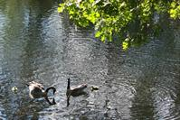 Picture of Canada Geese & Goslings
