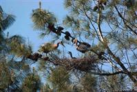 Picture of Great Blue Herons in Gray Pine Nest Tree on Island in Upper Lake -  May 5, 2011