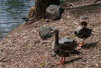 Picture of Native  Greater White-fronted Geese (Specklebelly) - May 11, 2011